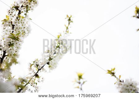 Tree Flowers In Blossom In A Warm Spring Day
