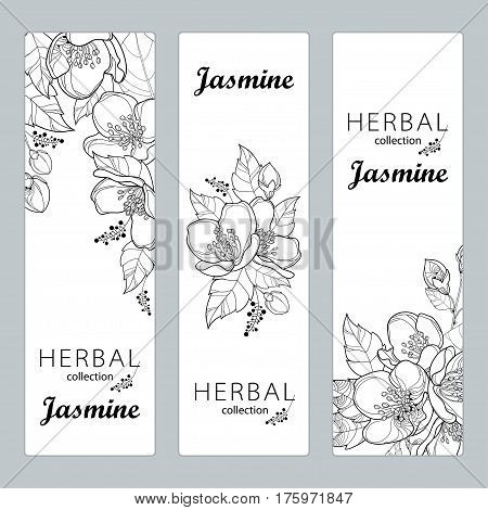 Vector vertical templates with outline Jasmine flowers, bud and leaves isolated on white background. Floral design for poster, banner, package with bunch of jasmine flower in contour style.