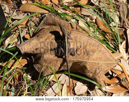 A gecko on a large leaf, in a park in Florida.