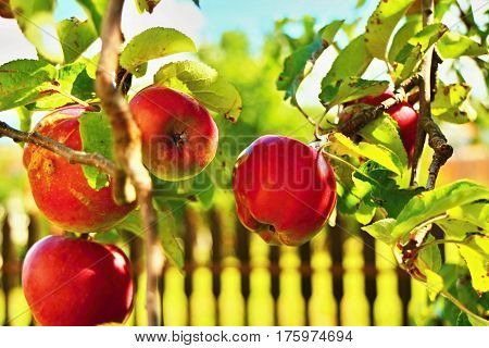 Tasty red apples grown in the garden.