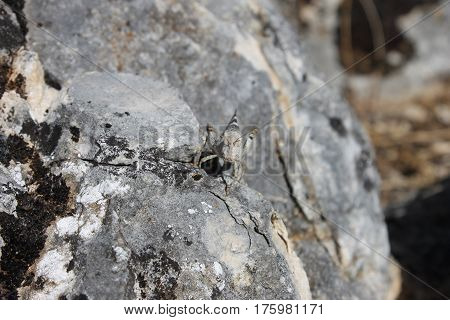 Grasshoper camouflaged on a rocks in the mountain in Burgos, Spain