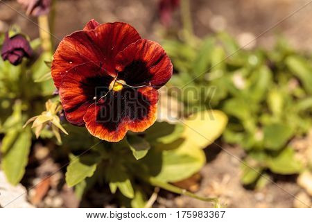 Colorful Pansy Flower