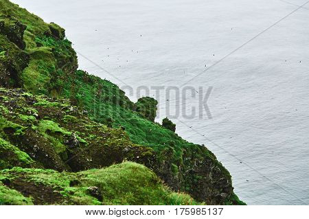 Rocky seashore and a flock of puffin birds. Autumn Iceland.