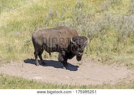 Bison on a Remote Prairie on the Hayden Valley of Yellowstone National Park in Wyoming