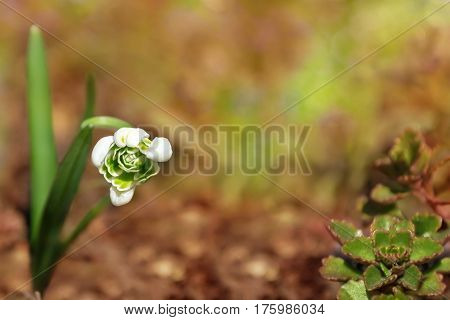 Natural spring background with snowdrop flower in the fallen leaves. Selective focus.