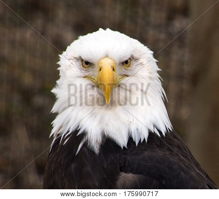 Male bald eagle a North American bird of prey and national emblem of USA facing the camera with white feathers on head, brown feathers on body and a hooked yellow beak.
