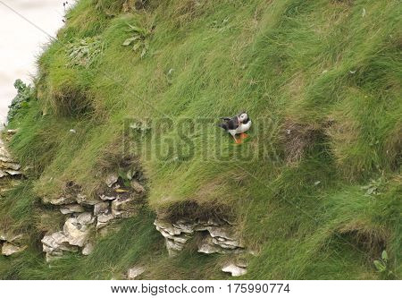 Puffin Seabirds At Bempton Cliffs - Large Seabird Colony In The Uk