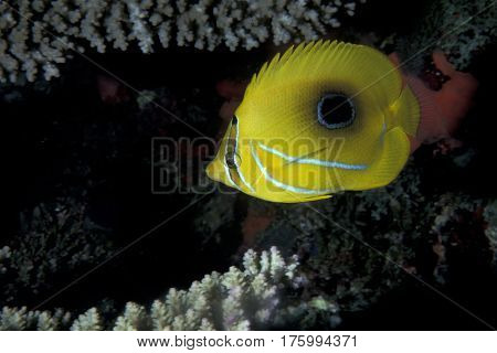 A Bennett's Butterflyfish, Chaetodon bennetti on a coral reef at the Kwajalein Atoll in the Pacific