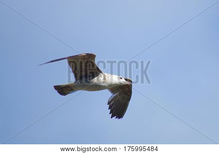 free flying italian seagull with opened wings