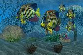 Beautiful Royal Angelfish shimmer with their gorgeous colors near a coral reef. poster