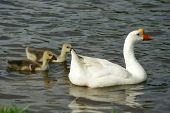 A mother goose and her two baby geese swimming in a pond poster