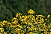 Jerusalem artichoke -Helianthus tuberosus is yellow eatable plant poster