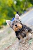 Sweet tiny terrier sitting on the ground poster