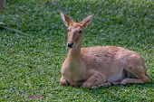 Wild male eld's deer, thamin, brow-antlered deeror Panolia eldii in park poster