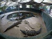 Nile crocodiles in aviary on the farm (lat. - Crocodylus niloticus) poster