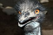 Extreme close-up of an emu beak and eyes poster
