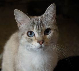 Beautiful gray cat and with blue eyes