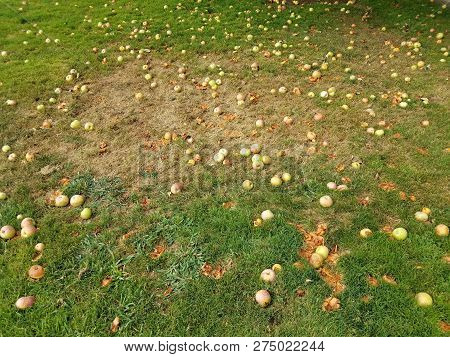 rotting apple fruit in green grass or lawn poster
