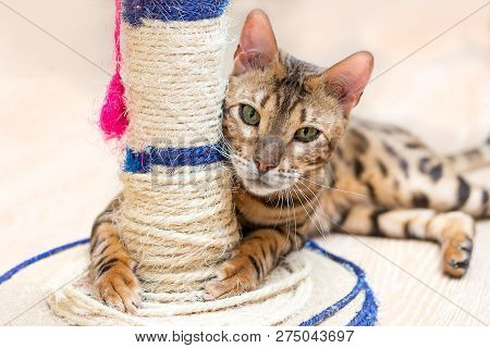 Cute Funny Cat Is Playing With A Scratcher