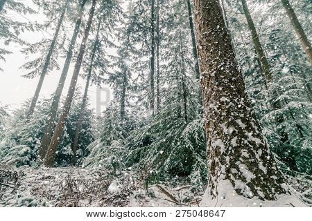 Snow Storm In A Forest With Tall Pine Trees In The Wintertime