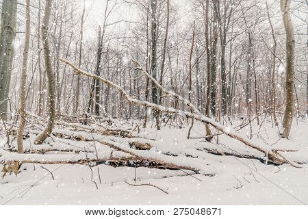 Snow Fall In A Forest In December With Snow Covering The Forest Floor
