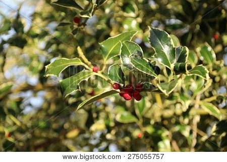 Holly With Red Berries In The Autumn Season In Public Park Schakenbosch In Leidschendam
