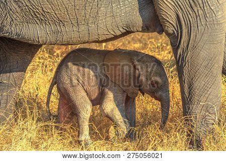 Elefant Calf Protected By Mum. Safari Game Drive In Pilanesberg National Park, South Africa. The Afr