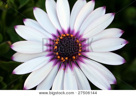 White african daisy flower close-up