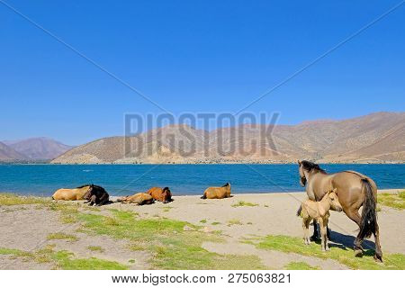 Wild Horses At The Dam Of The Embalse Puclaro Lake, Vicuna, Elqui Valley, Iv Region De Coquimbo, Chi