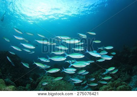 Fish underwater. School of sardines in ocean