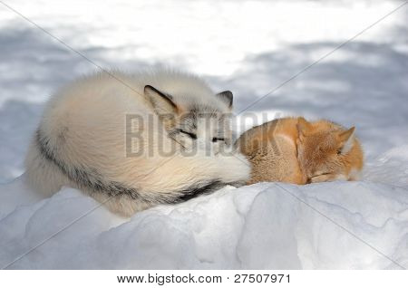 Swift Fox and Red Fox curled up sleeping together