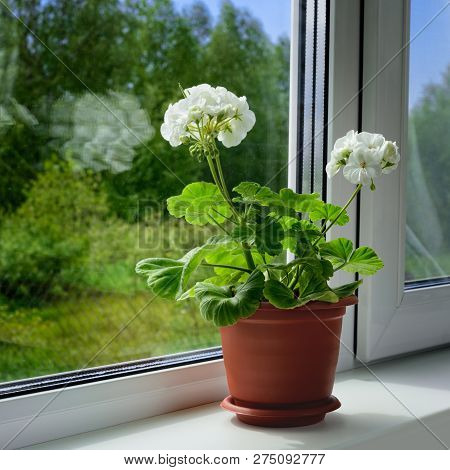 One Blossoming Geranium With Two White Blossoms And Green Leaves Is On A Windowsill. The Houseplant