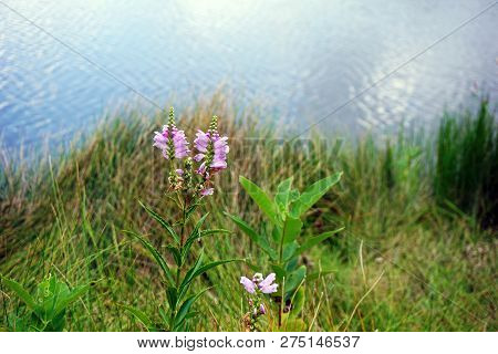 False dragonhead flowers (Physostegia virginiana), also called obedient plants, or obedience, bloom near the shore of a small lake in Joliet, Illinois, during August. poster