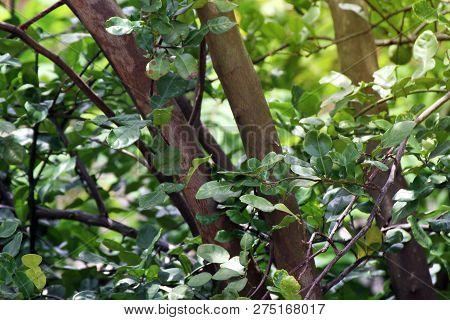 Bergamot Kaffir Tree, Bergamot Kaffir Growth In Farm Nature, Bergamot Kaffir Plantation For Spice Ve