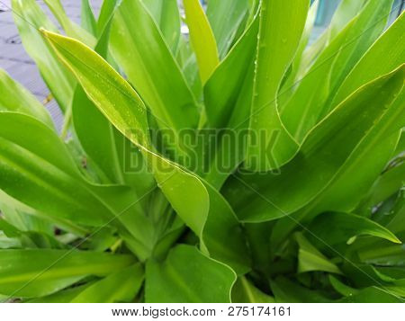 Crinum Lily Plant After The Rain. Fresh And Green.