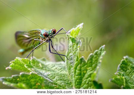 A Female Banded Demoiselle (calopteryx Splendens) On Vegetation Near A Brook At Downholland Brook Ne