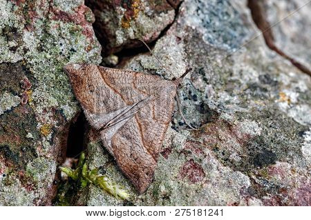 This is the Snout macro moth, Hypena probosdcidalis. It gets its name from the very obvious upturned palps. Here it is partialy camouflaged against a lichenised stone wall. These are common anywhere you find nettles, their food plant. poster