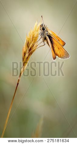 This Is The Small Skipper Butterfly (thymelicus Sylvestris) Resting On A Grass Inflorescence And The