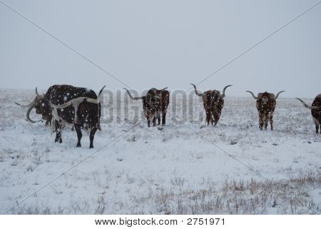 Longorns In A Snowstorm
