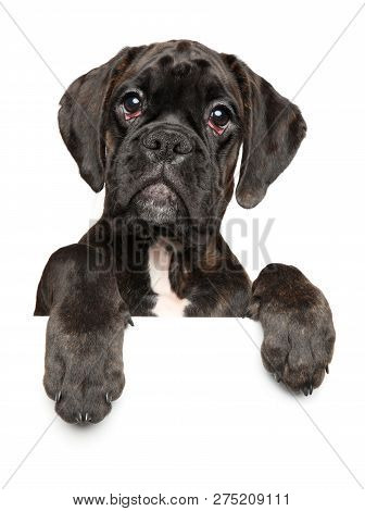 Cute Black Young German Boxer Dog Above Banner, Isolated On White Background. Animal Themes
