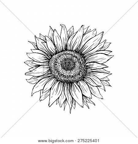 Sunflower Hand Drawn Vector Illustration. Floral Ink Pen Sketch. Black And White Clipart. Realistic