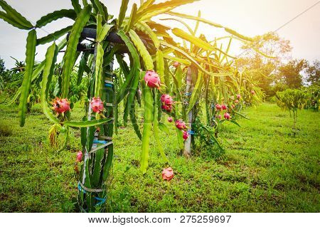 dragon fruit tree garden / dragon fruit plant growing in field farm agriculture on hill - Pitaya fruit tree tropical fruit garden