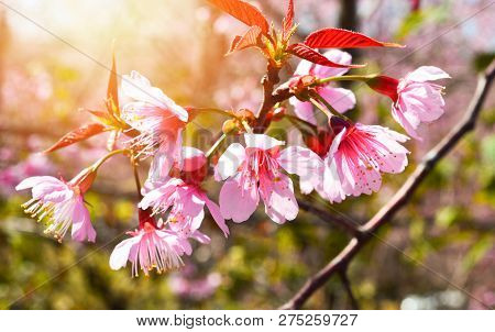wild himalayan cherry blooming/ pink tree of cherry blossom or sakura flower - wild himalayan cherry blooming on hill in winter at Phu Lom Lo Loei and Phitsanulok of Thailand