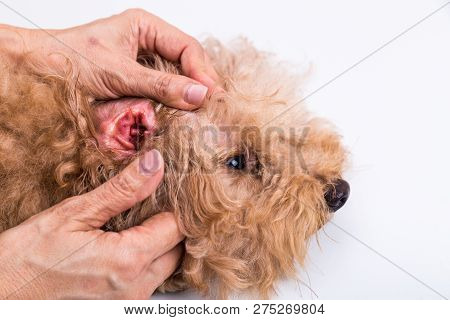 Person Showing Red Inflammed Ear Of Pet Dog