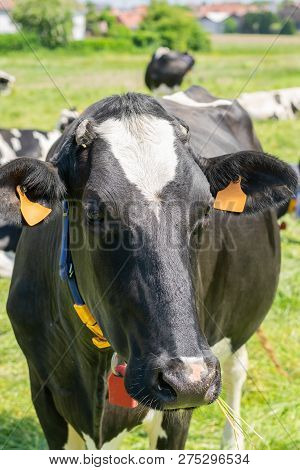 Holstein-friesian Cow Posing For Picture On A Farm.