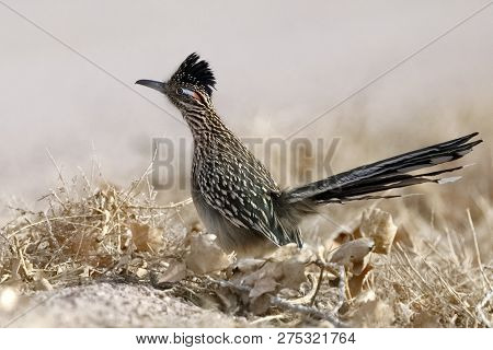Greater Roadrunner (geococcyx Californianus) - Bosque Del Apache National Wildlife Refuge, New Mexic