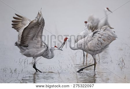 Sandhill Cranes (grus Canadensis) Displaying And Dancing At Dawn - Bosque Del Apache National Wildli