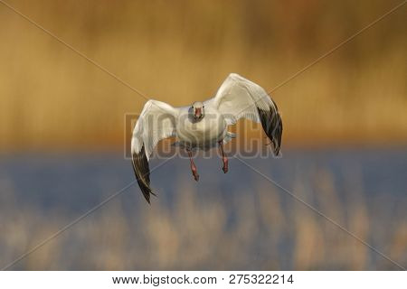 Snow Goose (Chen caerulescens) approaching for a landing - Bosque del Apache National Wildlife Refuge, New Mexico poster