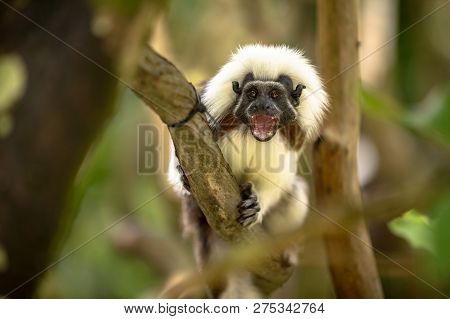 Cotton Top Tamarin Monkey, Saguinus Oedipus, With Open Mouth, Sitting