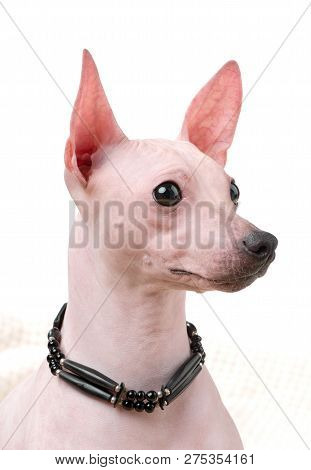 American Hairless Terrier dog  portrait close-up with native indian choker isolated on white background poster